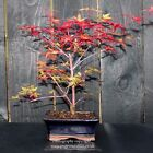 Bonsai tree Japanese Maple Acer from Japan WYSIWYG Bonsai B