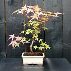 Bonsai tree Japanese Maple Acer from Japan WYSIWYG Bonsai D
