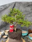 azalea bonsai super fat trunk great tree