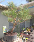 Japanese Black Pine Pre Bonsai Kifu Large Big Fat Trunk Nice Nebari