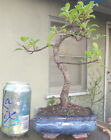 Tiger Bark Ficus Bonsai Dwarf Shohin Nice Movement Big Fat Trunk