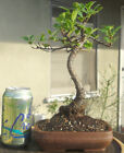 Tiger Bark Ficus Bonsai Dwarf Shohin Nice Movement Big Fat Trunk A