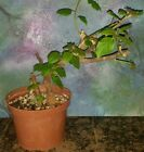 Beautiful Old Bonsai Bougainvillea Great Style Thick Trunk