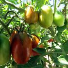 Black Dragon tomato - a rich plum tomato with multiple uses