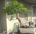 Tiger Bark Ficus Bonsai Dwarf Kifu Shohin Nice Movement Big Fat Trunk