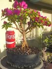Bougainvillea Vera Deep Purple Pre Bonsai Dwarf Kifu Big Fat Large Trunk Flowers