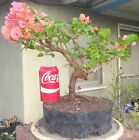 Rosenka Bougainvillea Pre Bonsai Dwarf Kifu Big Fat Trunk Orange Pink F