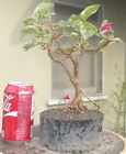 Bougainvillea Raspberry Ice Pre Bonsai Dwarf Shohin Nice Movement Trunk Flowers