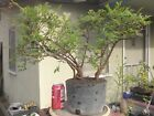 Catlin Elm Ulmus Pre Bonsai Forest Dwarf Shohin Nice Movement Trunk