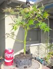 Green Japanese Maple Pre Bonsai Dwarf Shohin Big Fat Trunk Acer Palmatum