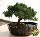 USA Live Bonsai Tree Zen Juniper Little Nature Japanese Pot Indoor Plant Desk