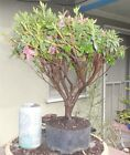 Azalea Duc De Rohan Pre Bonsai Mame Shohin Big Fat Trunk Flowers