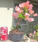 Rosenka Bougainvillea Pre Bonsai Dwarf Shohin Big Fat Trunk Orange Pink Flowers