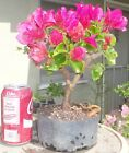 Bougainvillea La Jolla Pre Bonsai Dwarf Shohin Big Fat Trunk Flowers