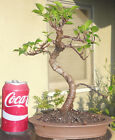 Tiger Bark Ficus Bonsai Dwarf Shohin Nice Movement Big Fat Trunk W Zisha Pot