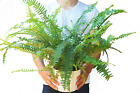 """Jester's Crown Fern - Live Plant - FREE Care Guide - 6"""" Pot - 18"""" Tall"""