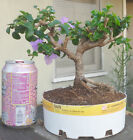 Bougainvillea Bambino Bluey Pre Bonsai Dwarf Shohin Big Fat Trunk Flowers