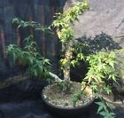Japanese Maple Bonsai Double Trunk