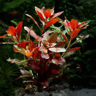 Ludwigia Repens Red Bunch Fresh Live Aquatic Plants Aquarium APF® BUY2GET1FREE*