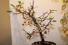 malus apple pre bonsai tree