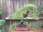 bonsai trees Large White Pine