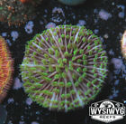 WYSIWYG Green Purple Fungia | Live Coral Frags | Fire Piece