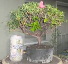Azalea Duc De Rohan Pre Bonsai Dwarf Shohin Big Fat Trunk Flowers