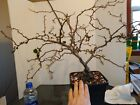 Bonsai tree large contorted white quince