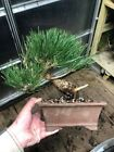 japanese black pine bonsai Shohin Fat Trunk