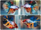 Live Betta Fish Fancy Multicolor Koi Breeding pair #4202 USA 🇺🇸 only
