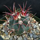 Ferocactus coloratus Blue green cactus with big pink  yellow spines