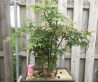 Bonsai Tree Acer Palmatum Maple Clump