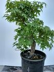 Bonsai tree Japanese maple