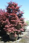 Specimen Japanese Maple Tree Acer palmatum Pixie 3 30 Box