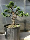 Hinoki cypress Sekka bonsai tree