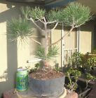 Japanese Black Pine Pre Bonsai Dwarf Kifu Big Fat Trunk Nice Nebari Pinus