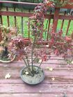 Bonsai Tree Acer Palmatum Japanese Maple SALE