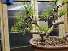 Mugo pine 3 tree forest grove bonsai with twisted trunks