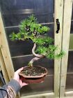 Mugo pine bonsai twisted trunk