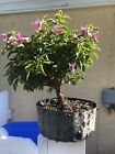 Bonsai Tree Bougainvillea Pre Bonsai Nice Thick Trunk Purple Flowers