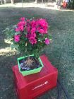 Bonsai Tree Bougainvillea Pre Bonsai Nice Thick Trunk Red Flowers
