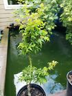SALE Shishigashira Japanese Maples perfect for Bonsai 19 to 20 inches tall