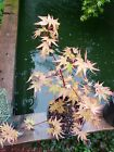 Very Rare IKandi Japanese Maple perfect for Bonsai or garden over 17 inches tall