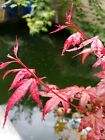 Shindeshojo Japanese Maple award winning tree perfect for Bonsai 30 inches tall