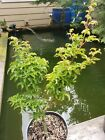 Shishigashira Japanese Maple perfect for Bonsai over 19 inches tall