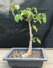 Bonsai Tree Bougainvillea Bonsai Nice Thick Trunk Red Flowers When In Bloom