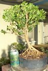 Japanese Boxwood Pre Bonsai Shohin Dwarf Fat Trunk Exposed Roots Neagari Buxus
