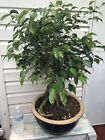 Benjamina Ficus Pre Bonsai live Tree well rooted With Awesome Aerial Roots