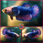 Live Betta Fish Female RARE PERFECT RIM Pink Butterfly Blue Marble Crowntail