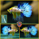 Live Betta Fish Male BABY HYBRID Blue Marble Yellow Koi Crowntail Halfmoon K313